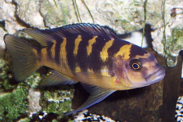 how to find male oscar fish