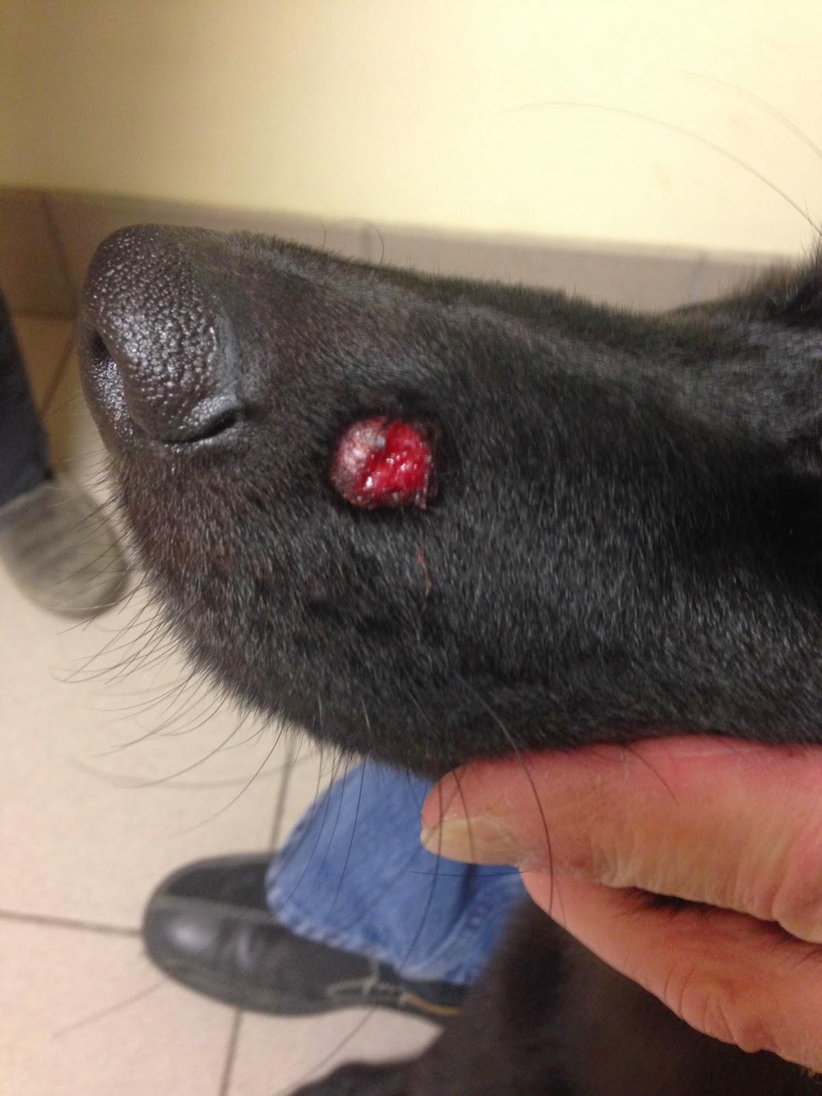 Histiocytoma Dogs Ear