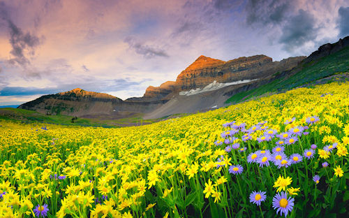 Flores silvestres - Timpanogos Wildflowers by Dan Ransom