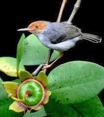 Habitata Dan Kebiasaan Burung Prenjak-Burung Prenjak menyukai tempat-tempat terbuka, seperti wilayah semak belukar, padang ilalalng, kebun, pekarangan, tepi sawah, tepihutan dan lain-lain. Burung prenjak sering bersarang di rumput ilalang, semak belukar atau kerimbunan daun perdu. Terkadang sarang ini 'dititipi' telur burung wik wik kelabu (Cacomantis Merulinus) dan sebangsanya yang bersifat parasit.   Indonesia yang memiliki keaneka ragaman hayati merupakan surga bagi kicau mania karena dapat menyalurkan hobi memelihara aneka jenis burung, termasuk dalam hal ini adalah memelihara aneka jenis burung prenjak yang notabene disebutkan oleh berbagai kalangan sangat sulit untuk dipelihara karena memiliki tubuh yang kecil sehingga rentan jatuh sakit dan akhirnya tewas dalam perawatan. Dalam upaya menghindari kepunahan maka selaku kicau mania ada baiknya mempertimbangkan mengkembangbiakkan burung ini dengan sangat hati-hati dan sabar, karena amat sangat disayangkan bila burung mungil yang kicauannya ada yang diyakini sebagai tanda akan adanya keberkahan bagi pendengarnya atau akan adanya tamu istimewa yang datang kerumah (prenjak kebun/prenjak merah). Namun bila tidak mungkin melakukan penangkaran ada baiknya membiarkan burung ini tetap hidup bebas di alam liar dan kita masih akan terus bisa mendengarkannya hingga anak cucu kita kelak.