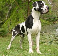 Great Dane image