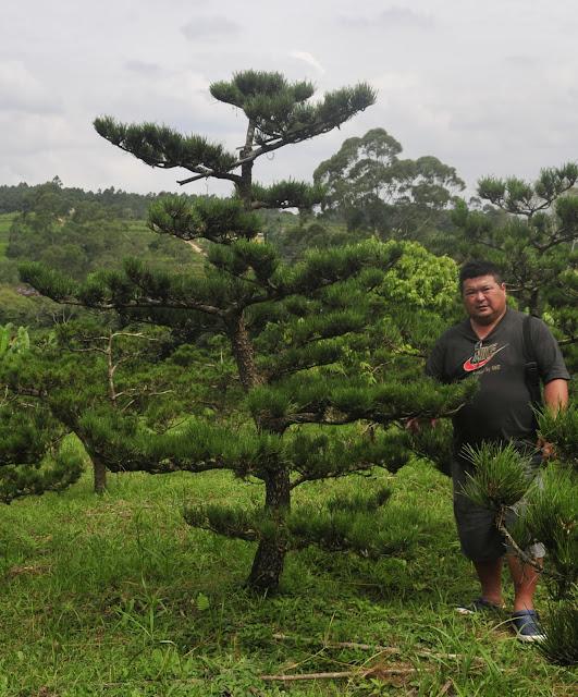 pinheiro negro para jardim japonês