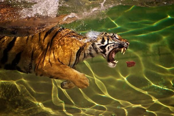 Tigers can swim