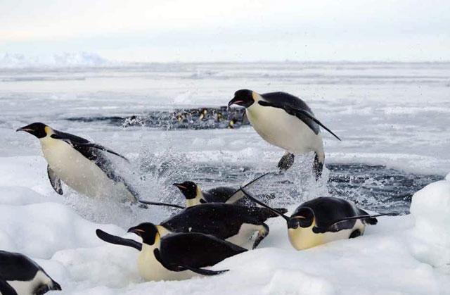 Curiosidades sobre pingüinos