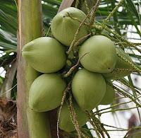 Khasiat Air Kelapa Sebagai Obat Sariawan,Buah kelapa muda,kelapa gambar