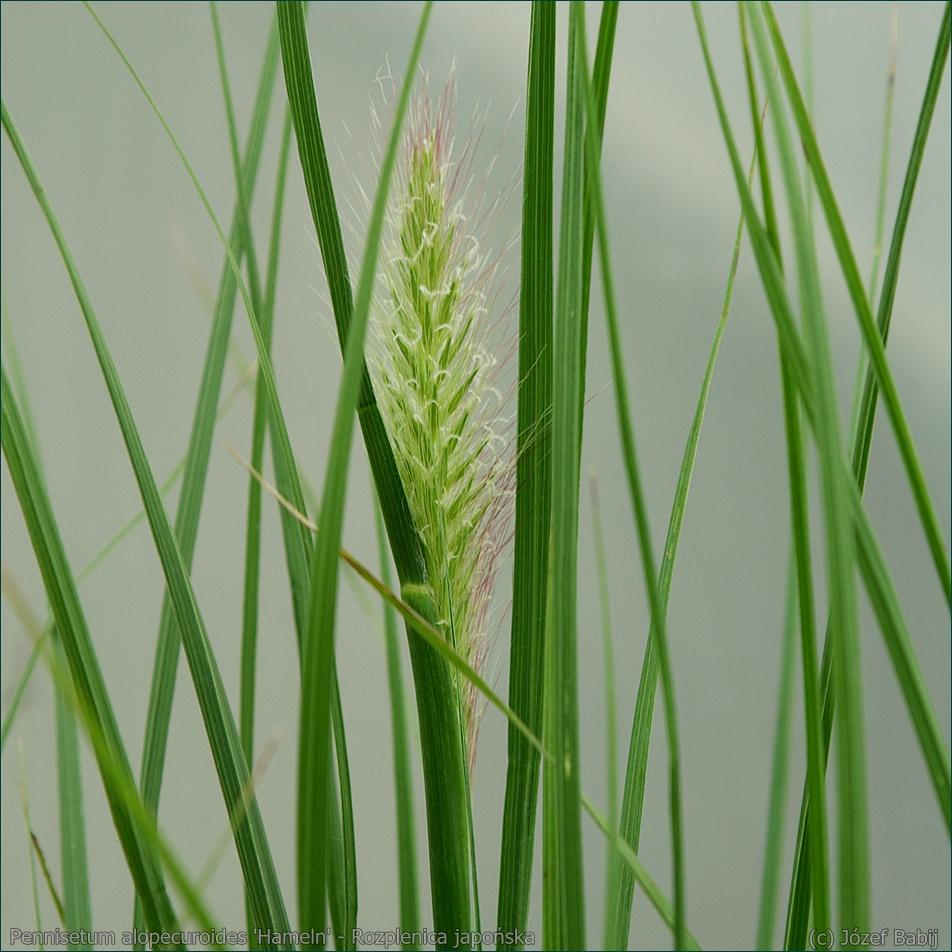 Pennisetum alopecuroides 'Hameln' - Rozplenica japońska kwiatostan