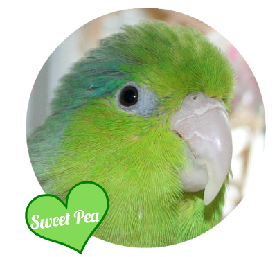 My Parrotlet Sweet Pea