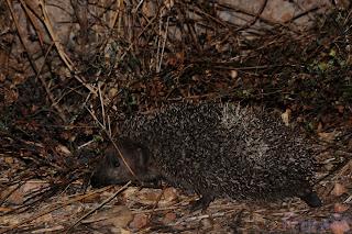 Erizo europeo (Erinaceus europaeus) European Hedgehog