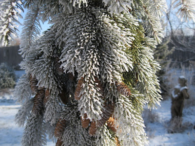 Frost on weeping white spruce
