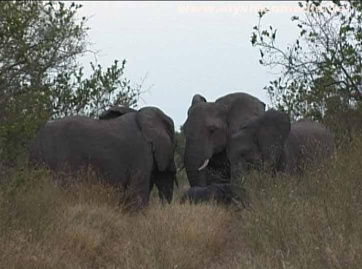 Kruger National Park- elephants with cub