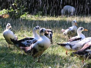Duck Etymology | RM.