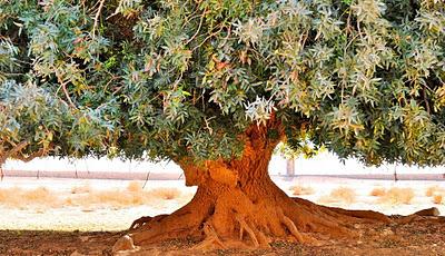 Buqa'awiyya Pokok Dan Sahabat Nabi