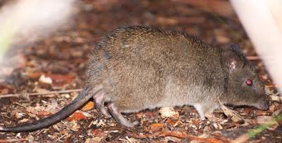 Long-nosed Potoroo (Potorous tridactylus)