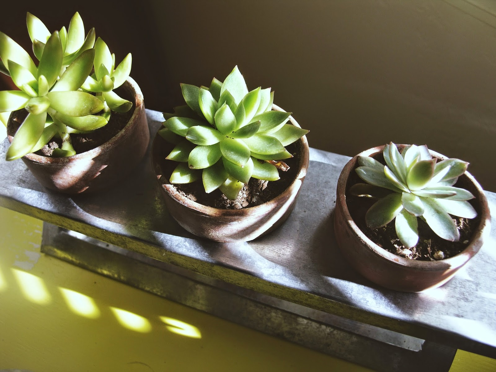 trio of succulents