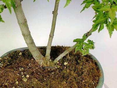 Bonsai Arce japones Var. melena de leon (Acer Palmatum Shishigashira)