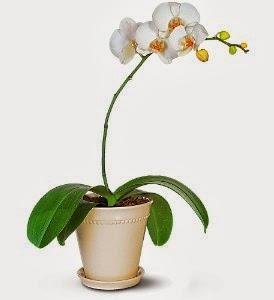 bloomex-phalaenopsis-orchid