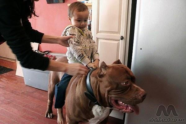 اكبر كلب في العالمأكبر كلب في العالم,أضخم كلب,بيتبول,كلب بيت بول,أكبر كلب,كلاب,اكبر كلب,في العالم,أضخم كلب,2015,أكبر كلب بالعالم,أضخم بيت بول بالعالم,Hulk,هولك,Biggest,Pit Bull,in the World,Biggest Pit Bull in the World,Biggest Pit Bull,in the World,عجائب العالم,عجائب الحيوانات,غريب