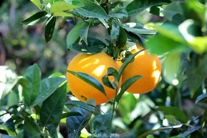 Tiempo de recoger las naranjas