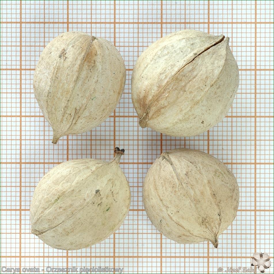 Carya ovata - Orzesznik pięciolistkowy nasona