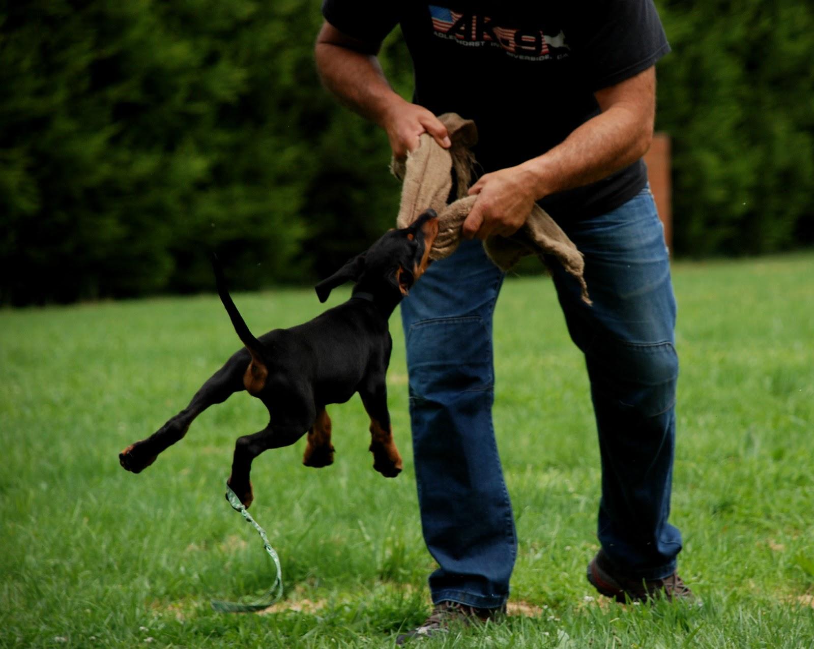 Ipo Dog Training Melbourne