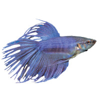 Little miss hypothesis lessons from the science lab for Betta fish at petsmart