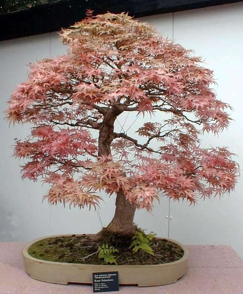 Amazing bonsai trees wallpapers beautiful bonsai trees for Bonsai tree pics