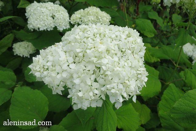 гортензия древовидная, Hydrangea arborescens, аленин сад, цветы, июль