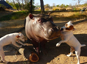 DOGS BEFRIEND BABY HIPPO