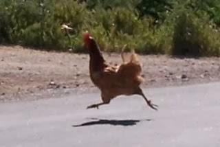 Cerita ayam lucu