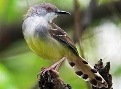 burung ciblek, ciblek semi