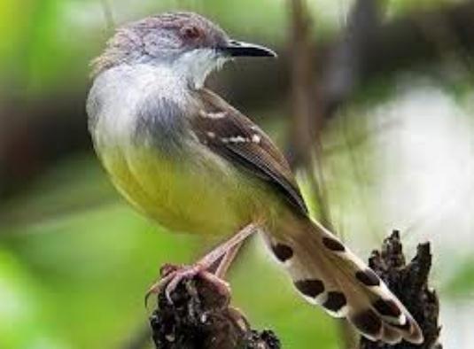 Dongkrak Stamina burung Ciblek dengan mengkudu - Cara ...