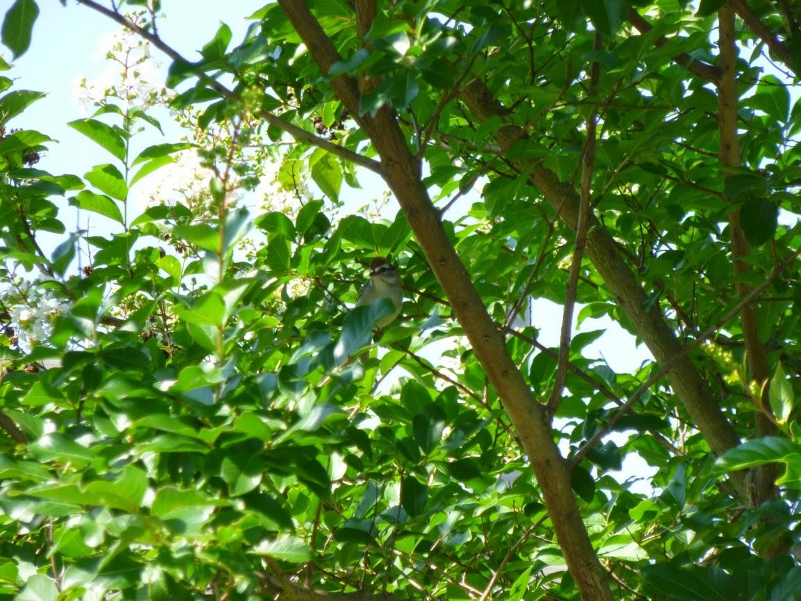 Bird in Natchez crape myrtle foliage