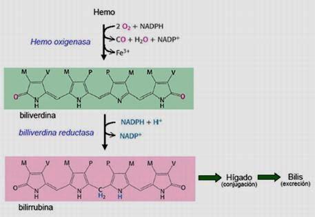 Metabolismo del HEM