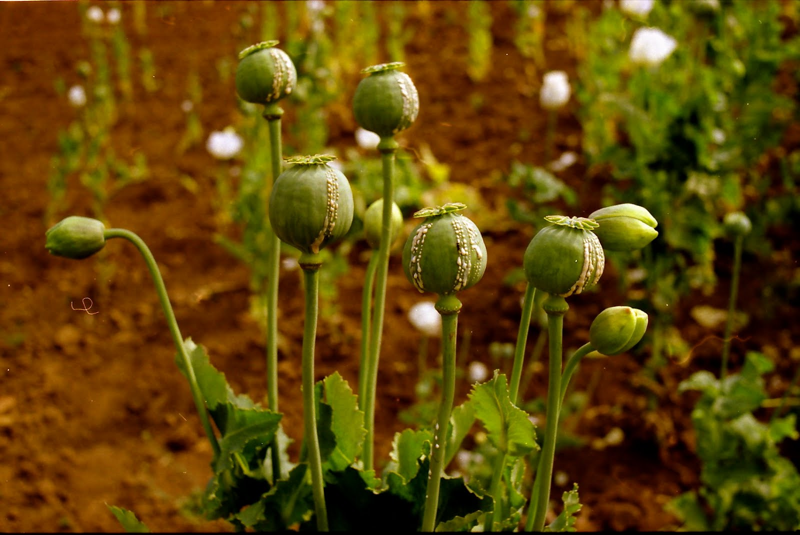 the abuse of the coca leaf and the opium poppy The odccp said coca leaf and  thanks to a 'get-serious' approach on the part of most major coca and opium poppy  us national household survey of drug abuse.
