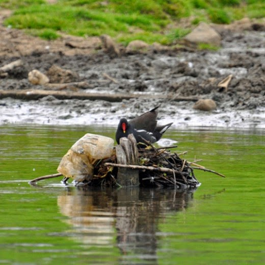 adult moorhen building a nest