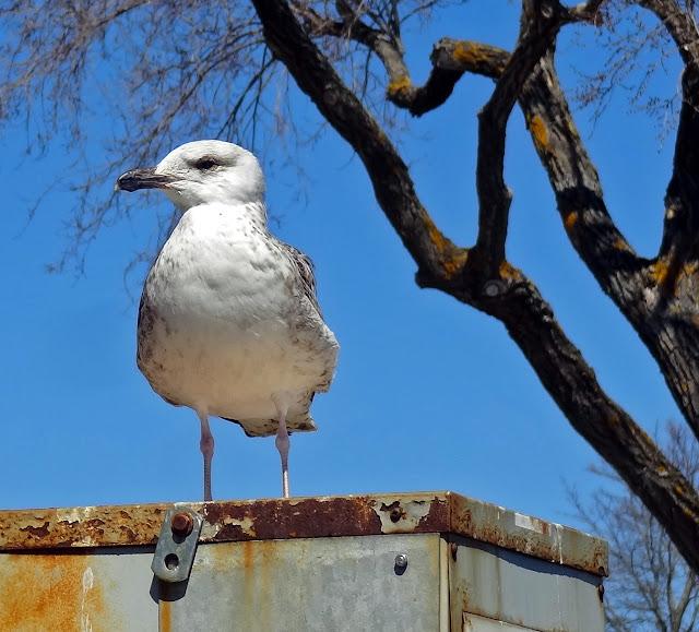 Joe's Retirement Blog: Gulls Rule, Falmouth, Cape Cod