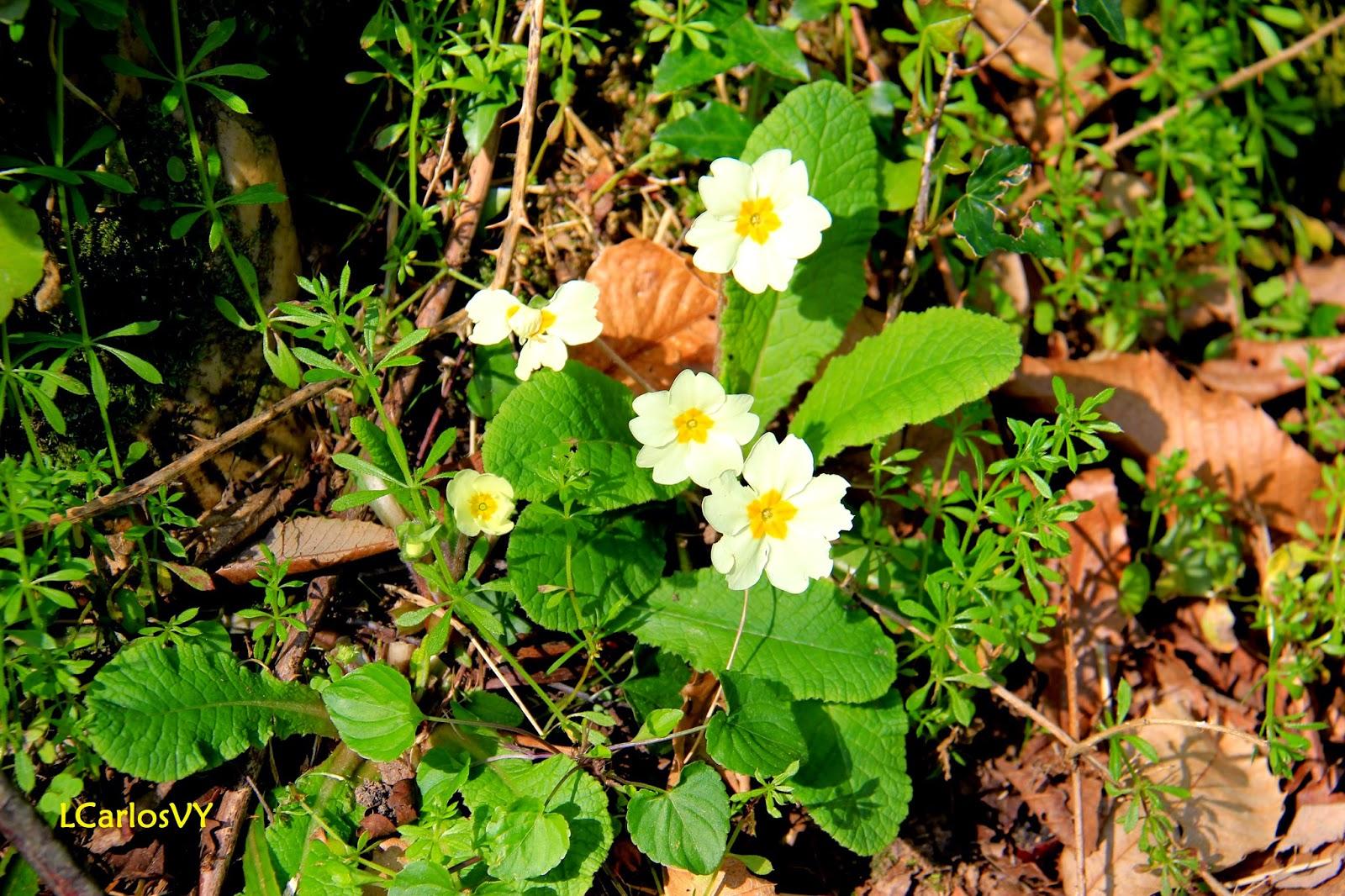 Plantas silvestres de asturias primavera primula vulgaris for Algunas plantas ornamentales