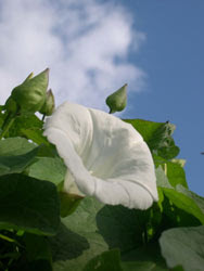 Bindweed Flowers