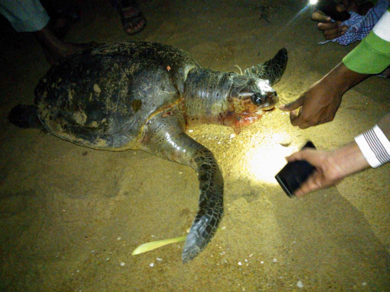 По итогам обзора можно сказать, что черепаха — женское животное.