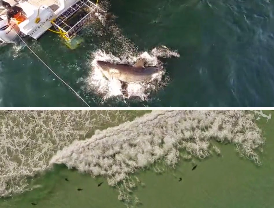 Drone aerial video of South Africa sharks including the great white and sharptooth houndshark.