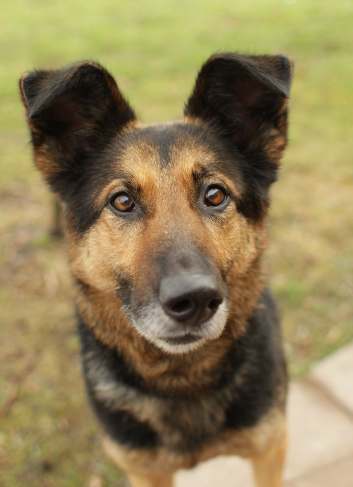 Molly - German Shepherd Collie mix