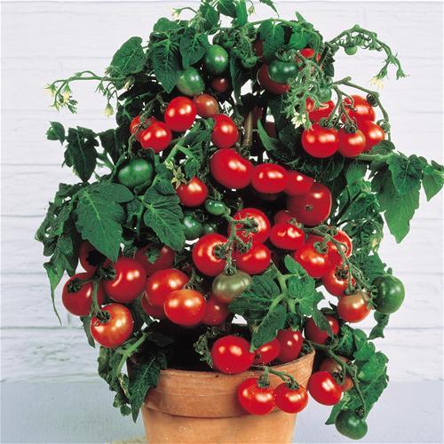 Come coltivare il pomodoro ciliegino nell 39 orto o sul for Piante pomodori in vaso