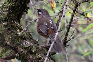 Sukatchev's Laughingthrush