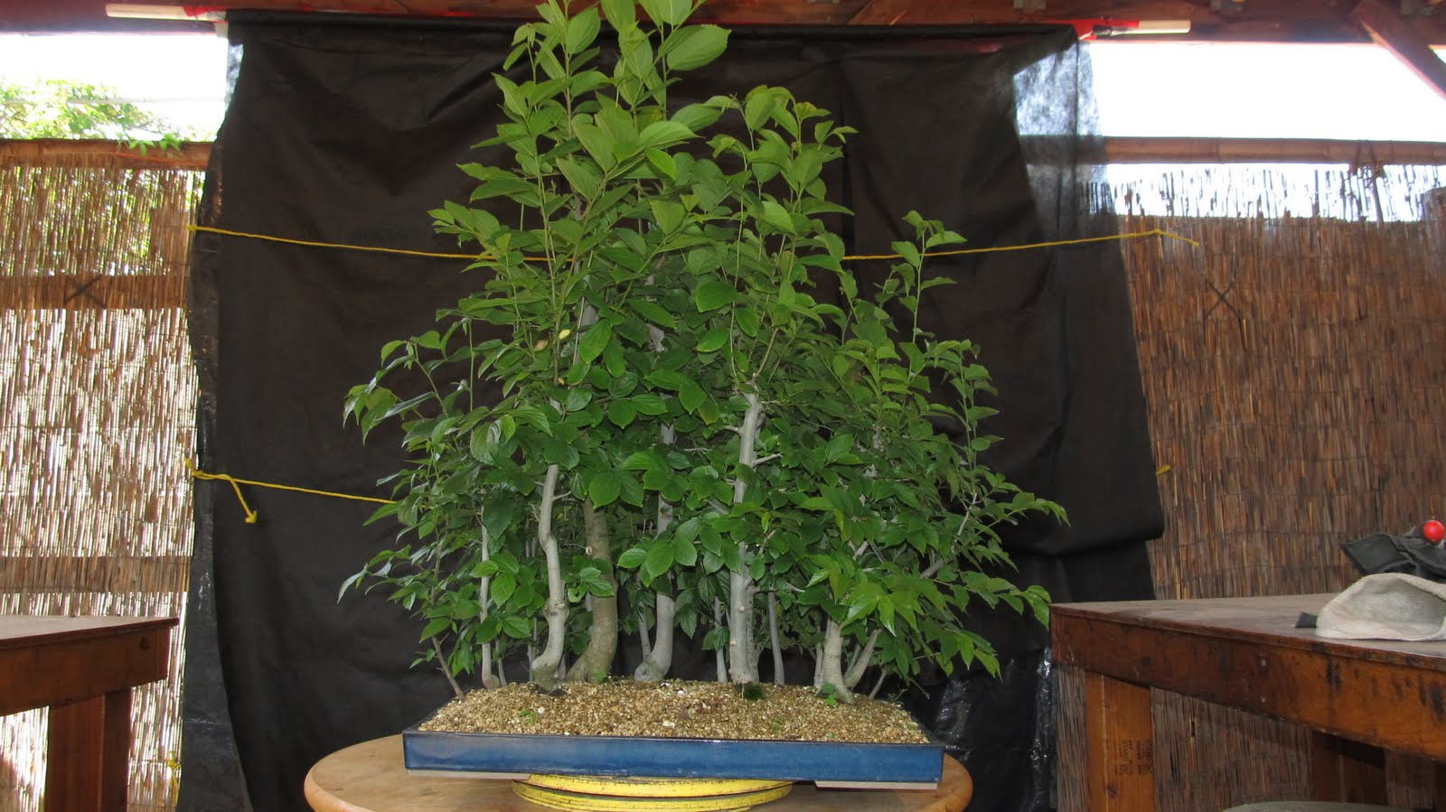 Bonsaibp39s Bonsai Blog Hackberry Forest Revisited