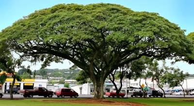 Pohon Trembesi di pinggir jalan