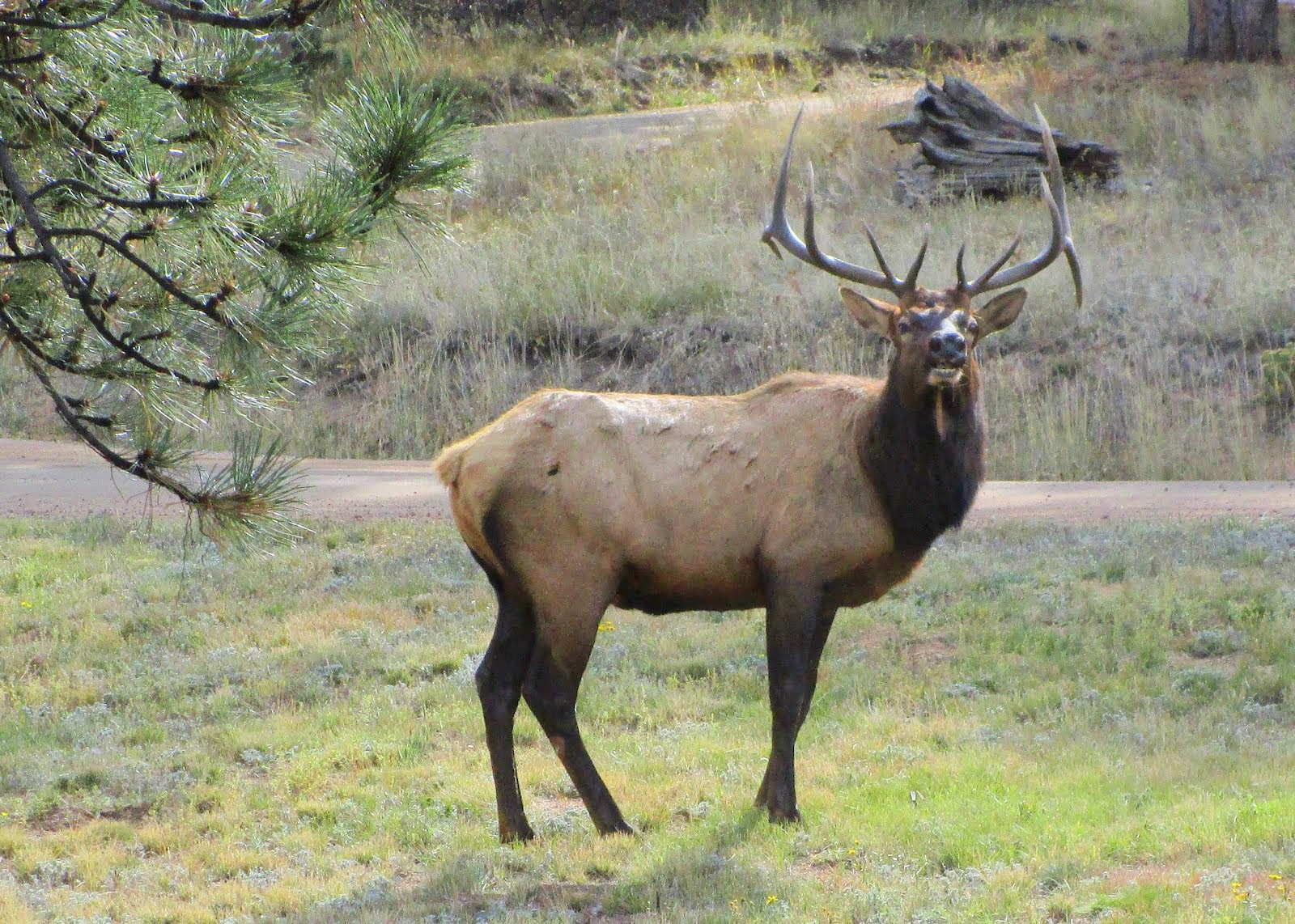 Bull Elk in our Yard