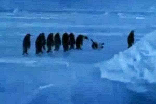 A Penguin Makes an Adorable Little Sound After Slipping on Ice