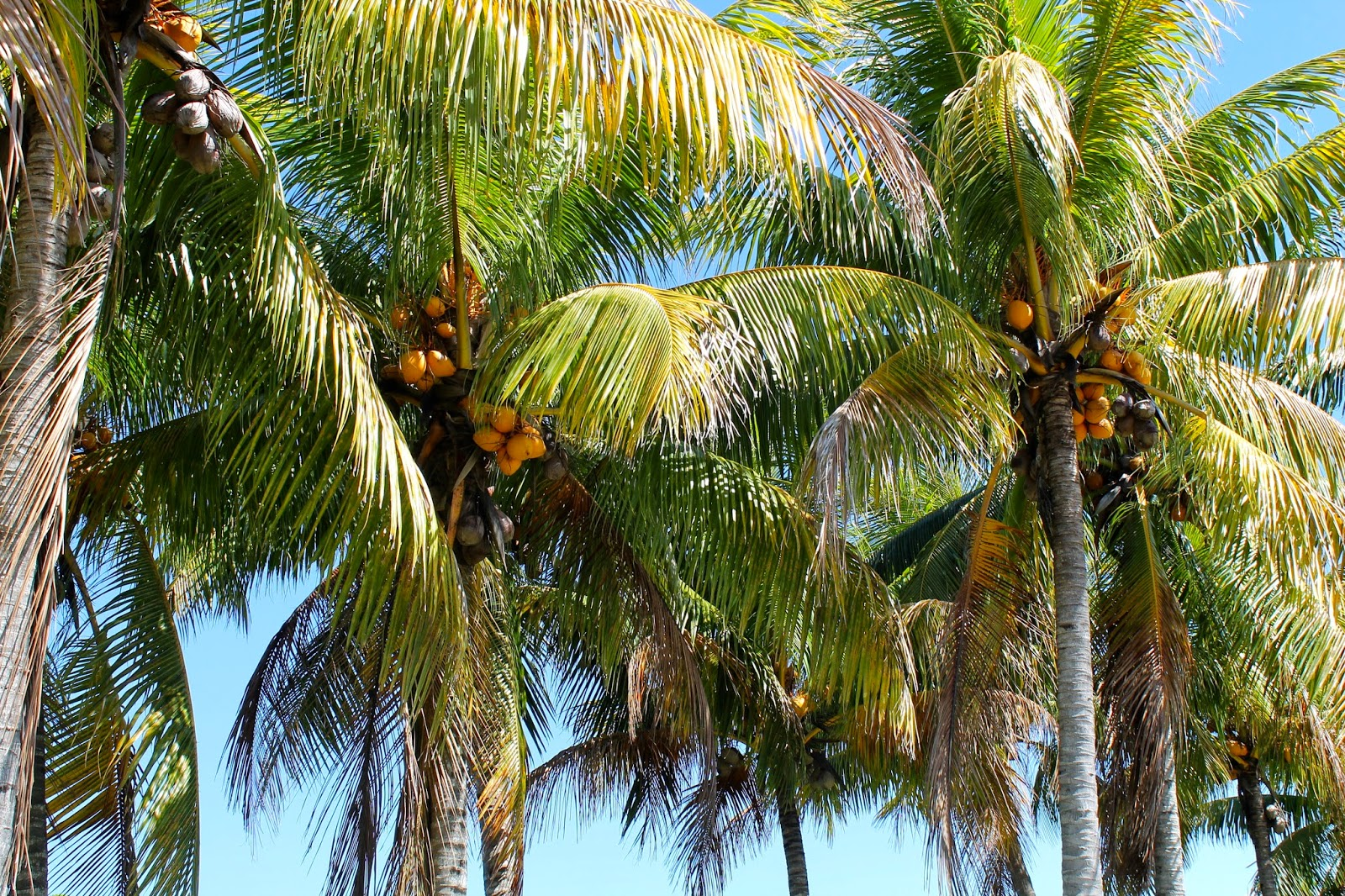 Miami Palm Trees