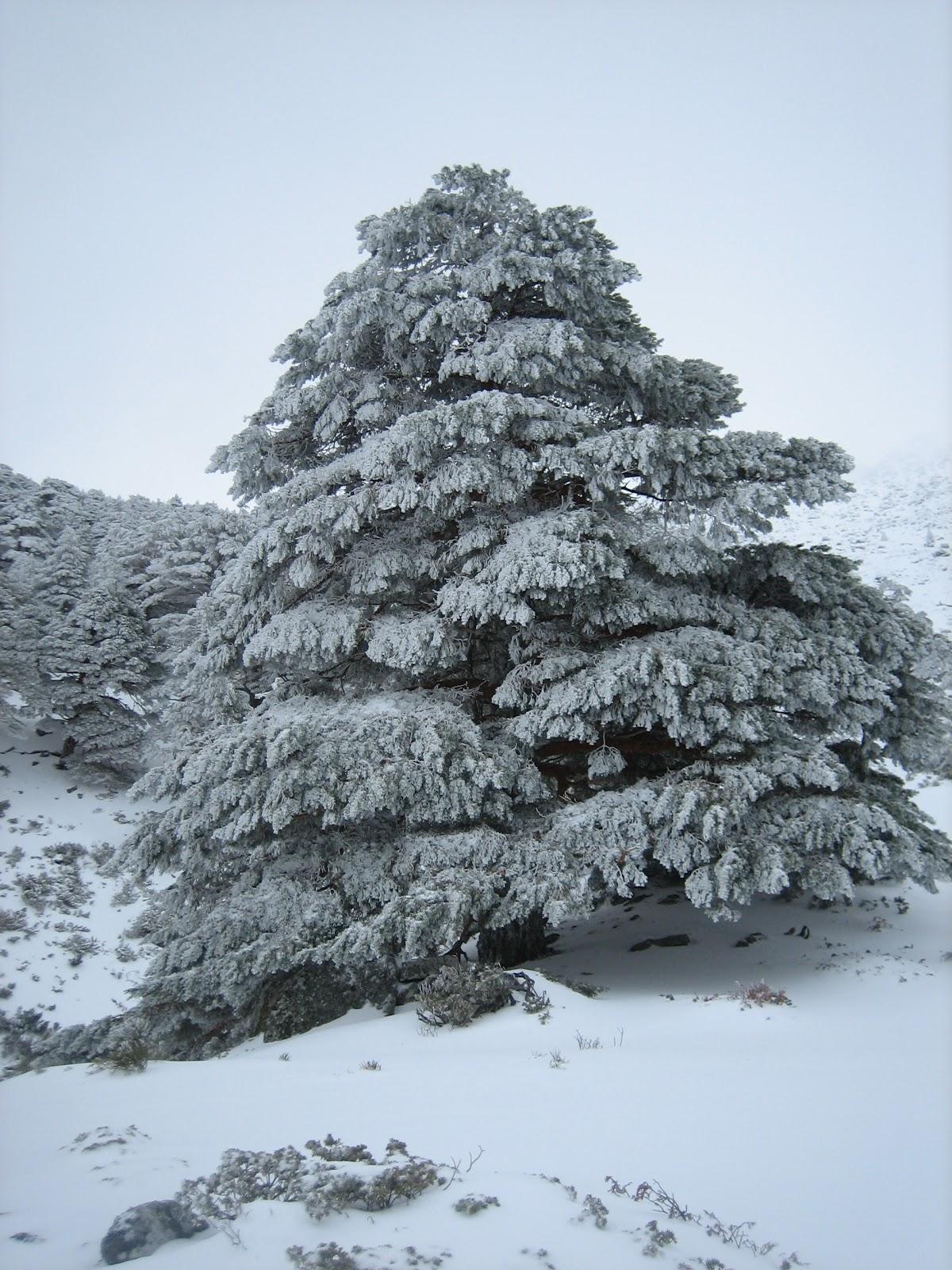 abeto nevado