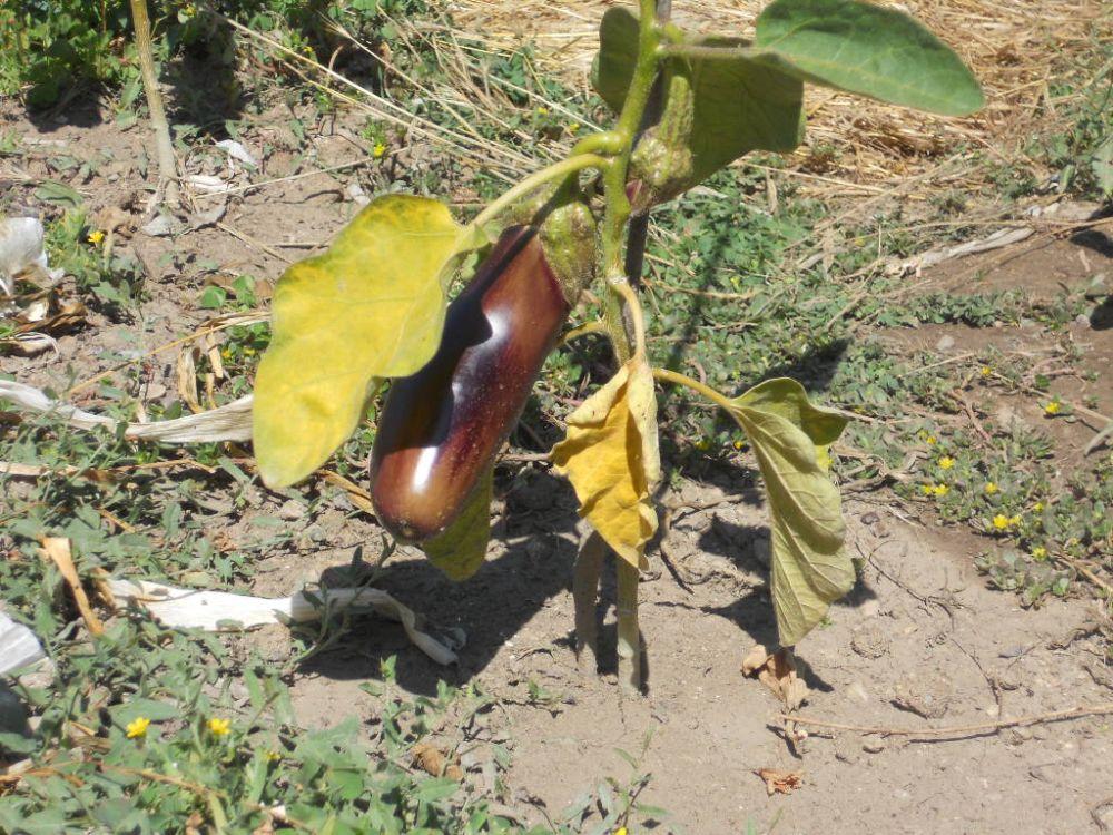 este ao hemos probado unos tomates procedentes del sur y en principio crecen bien es lo bueno esto de los huertos domsticos que de vez en cuando